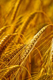 Closeup of a wheat ears Royalty Free Stock Photo