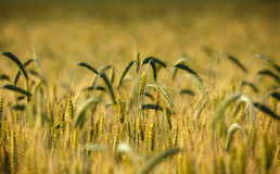 Closeup of wheat ears Royalty Free Stock Photo