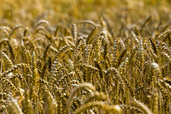 Closeup of a wheat-field Stock Images