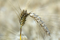Closeup of wheat Royalty Free Stock Image