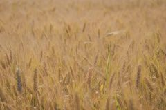 Closeup wheat filed royalty free stock images