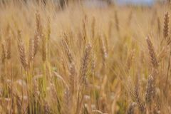 Closeup wheat filed royalty free stock photos