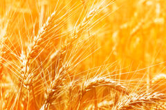 Closeup wheat. Golden closeup wheat ear in a rays of sun stock image