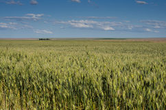 Closeup of wheat or grain Royalty Free Stock Image