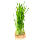 Closeup of wheat grass Stock Image