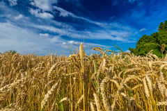 Closeup of wheat plants against dramatic blue sky in Belgium Stock Photos