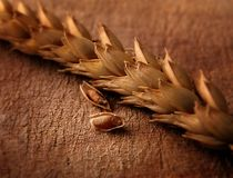 Closeup of wheat stalk and some grains on the side.  stock photos