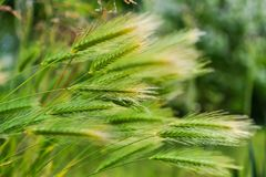 Closeup of wheat weaving in wind royalty free stock photography