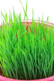 Closeup of Wheatgrass sprouts Royalty Free Stock Photography