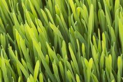 Closeup of wheatgrass in the sun Stock Photo