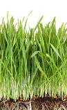 Closeup of wheatgrass on white Royalty Free Stock Images
