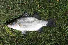Closeup of a Whie Bass. Closeup of a White bass or Sand bass laying on a green lawn in the sunshine royalty free stock photos