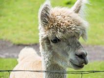 Closeup of white alpaca Stock Photography