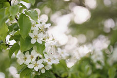 Closeup of white apple flowers blossom in late spring Royalty Free Stock Photo