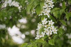 Closeup of white apple flowers blossom in late spring Royalty Free Stock Photography