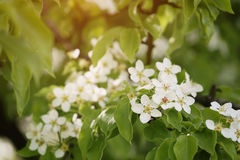 Closeup of white apple flowers blossom in late spring Stock Images