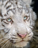 Closeup white baby tiger  head. White baby tiger  head from detail view Royalty Free Stock Photography