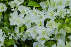 Closeup White Bougainvillea stock image