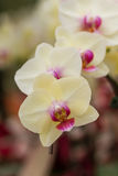Closeup white butterfly orchids. Closeup white butterfly orchids in the garden Royalty Free Stock Photos