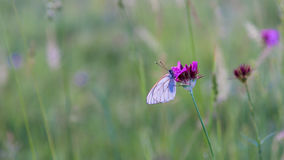 Closeup white butterfly on purple carnation flower Stock Image