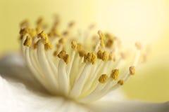 Free Closeup White Camellia Stamens Stock Image - 177122041