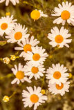 Closeup of white camomile flowers in green grass Royalty Free Stock Image