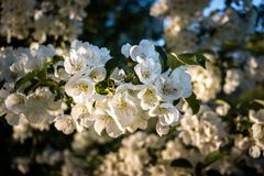 Close-up of White Cherry Blossoms Bloom in Springtime royalty free stock photography