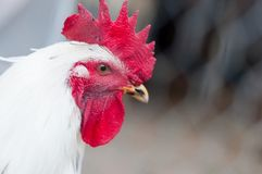 Closeup of white chicken rooster looking to the camera Royalty Free Stock Images