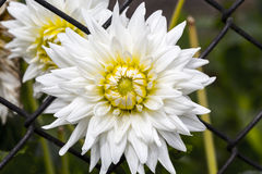 Closeup of a white chrysanthemum in a fence Stock Photography