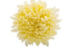 Closeup of white chrysanthemum flower Stock Photos