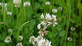 Closeup of white clover plants grow in meadow. Trifolium hybridum. HD video footage shooting of static camera stock video footage