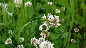 Closeup of white clover plants grow in meadow. Trifolium hybridum stock video footage