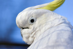 Closeup of white Cockatoo bird Royalty Free Stock Photo