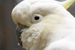 Closeup of white Cockatoo bird Stock Image