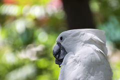 Closeup of White Cockatoo biting on a stick it`s holding in its. Closeup of a White Cockatoo chewing on a stick that its holding in its claw, while the blurry royalty free stock photo