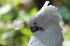 Closeup of a White Cockatoo preening its feathers. Closeup of a White Cockatoo bird as it uses its powerful, black beack to clean its beautiful white feathers Royalty Free Stock Photography