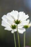 Closeup white cosmos flower. Closeup beautiful white cosmos flower Stock Photo