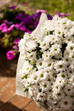 Closeup of white daisies growing in garden pot at summer day royalty free stock photos