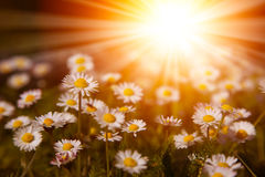 Closeup of white daisies with warm sunrays. Summer background Stock Photos