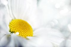 Closeup of white daisy Stock Image