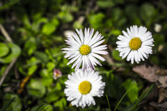 Closeup of a white daisy (Bellis perennis) Royalty Free Stock Photo