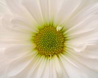 Closeup of white daisy flower Stock Image