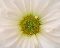 Closeup of white daisy flower Stock Image