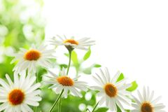 Closeup of white daisy flowers Stock Images