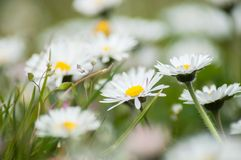 White daisy in the grass background. Closeup of white daisy in the grass background royalty free stock photography