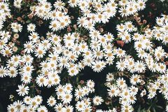Closeup of white daisy-like flowers of fall heartleaf aster, Aster cordifolius in the garden. Autumn plant, floral. Background, vintage toned photography stock images