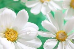 Closeup of white daisy petals Royalty Free Stock Photos