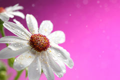 Fresh white daisy on pink background Royalty Free Stock Photo