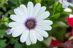 Closeup of white daisybush flower plant, Osteospermum ecklonis Royalty Free Stock Photos