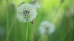 Closeup of White Dandelion Gone to Seed Swaying in the Breeze stock footage